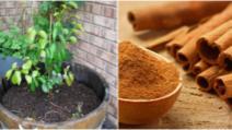 Ce se întâmplă dacă presari scorțișoară pe plantele din casă