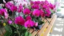 Cum înmulţeşti cu succes orhideea. Trucul care o face să înflorească tot timpul