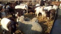 Furt de oi si capre