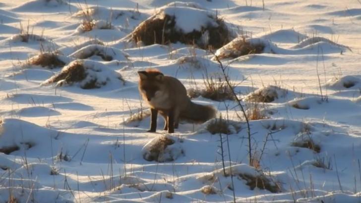 Vulpe la vânătoare în pădurile din Caraș-Severin Foto: Facebook/Romsilva