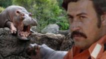 Hipopotamii lui Escobar terorizează Columbia Foto: wssrmnn.net