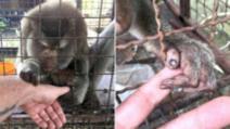 Captivă 7 ani în cușcă și chinuită, maimuța a prins mâna bărbatului. Cutremurător ce a urmat!