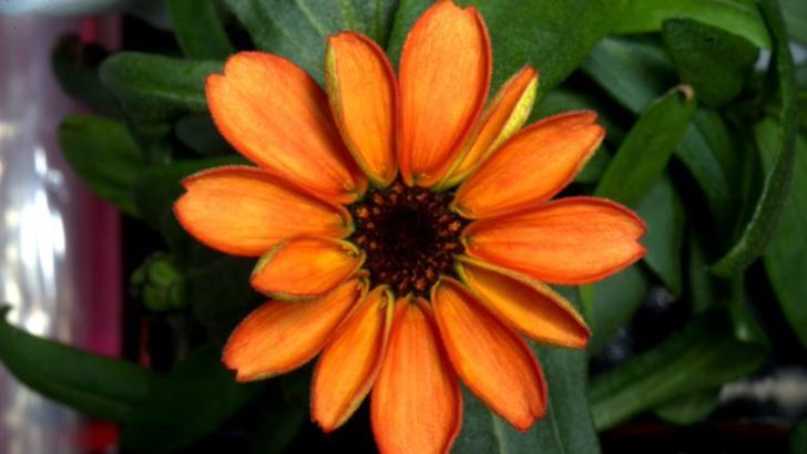 """floarea """"spatiala"""" zinnia Foto: Twitter"""