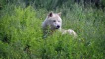 Un lup a fost văzut în nordul Franței, pentru prima oară după un secol