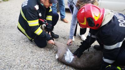 Căprioară salvată de pompierii din Argeș Foto: ISU Argeș