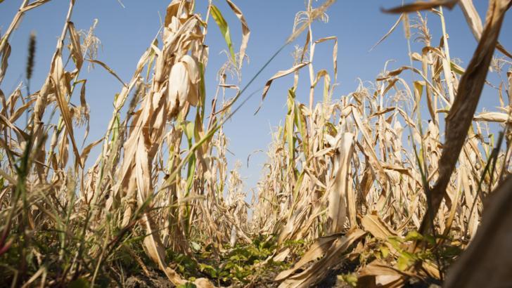 Astăzi este ultima zi în care fermierii mai pot depune cererile de despăgubiri pentru secetă