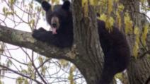 Alertă la o pensiune din Predeal: un urs s-a urcat într-un brad din apropiere