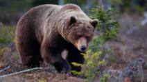 Cinci urși înlăturați, în ultimele ore, de jandarmii harghiteni
