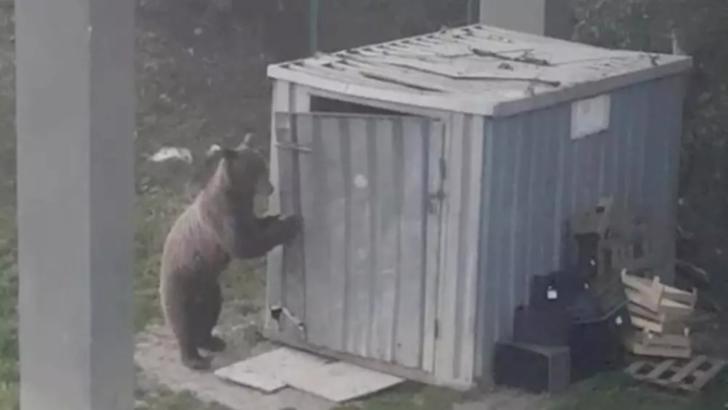 Jandarmii harghiteni au fost solicitaţi să intervină pentru îndepărtarea urșilor