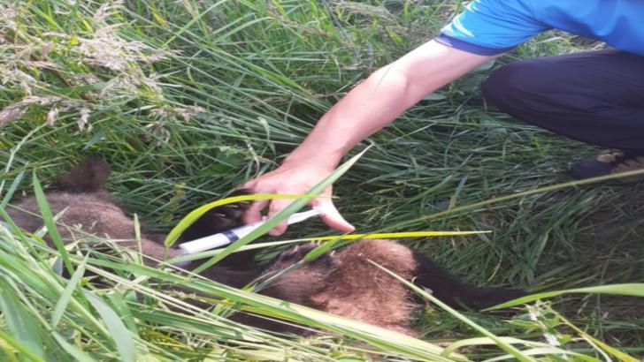 Pui abandonat de ursoaică, salvat de jandarmii harghiteni și dus la Centrul de Reabilitare a Urșilor Orfani Bălan