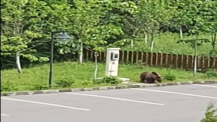 Urs filmat în parcarea unui hotel din Voineşti-Covasna