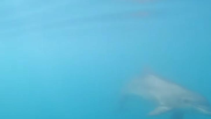 Spectacol inedit în Marea Neagră. Delfini de mari dimensiuni au fost filmați de un înotător