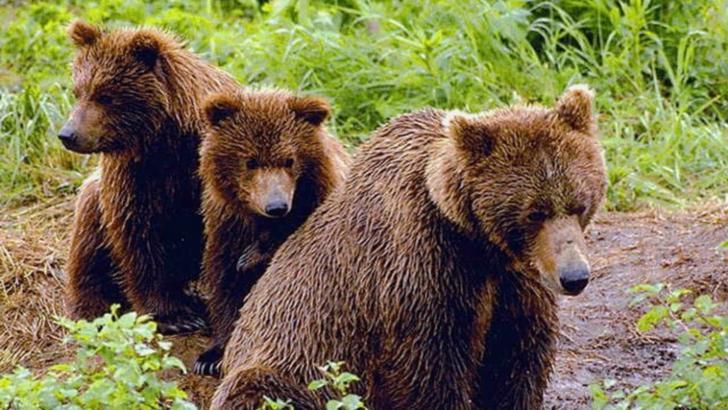 VIDEO/ 26 de ursi alungați din stațiunile de pe Valea Prahovei