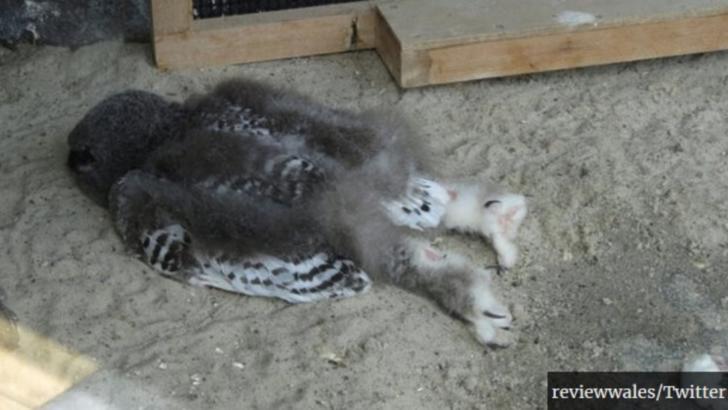 Imagine virală: de ce dorm puiuții de bufniță pe burtă