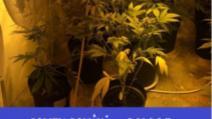 marijuana oradea