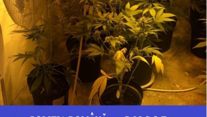 cannabis oradea