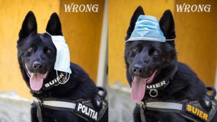 Ministerul de Interne, postare virală: câinele Șuier te învață cum să porți CORECT masca de protecție