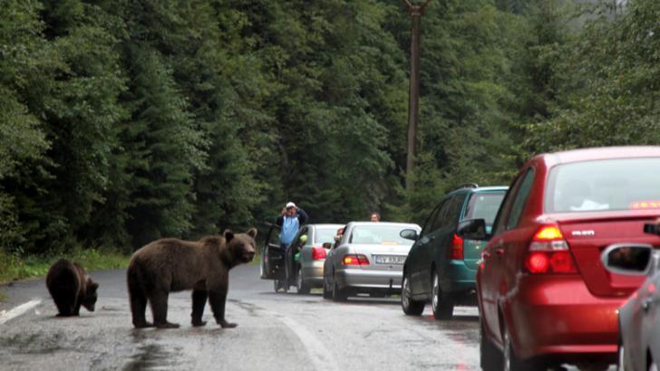 Ministrul Mediului, Costel Alexe, avertisment pentru turiștii care hrănesc ursii la marginea drumului