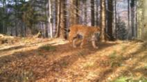 Cea mai mare felină din Europa, imagini spectaculoase. Râsul, filmare de excepție în Munții Făgăraș
