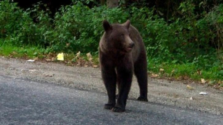 Mesaj de alerta la Targu Mures! Un urs se plimba pe strazile din oras