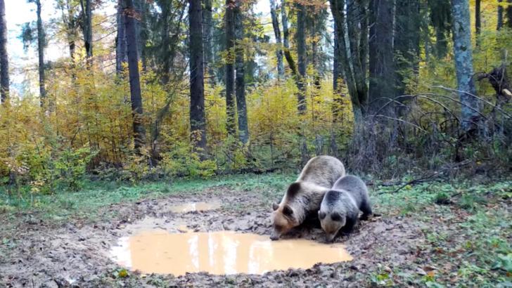 Imagini INEDITE în paradisul natural din Apuseni - Urși, surprinși în timp ce beau apă în pădure