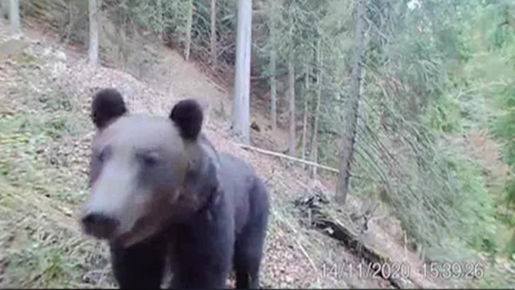 Ursul care se vrea vedetă TV. Imagini incredibile surprinse în Parcul Național Călimani