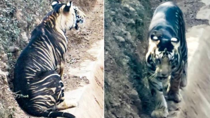 Un tigru dintr-o specie extrem de rară, fotografiat în India