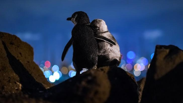 Fotografia anului 2020 - Cei doi pinguini pitici care au grijă unul de celălalt după ce fiecare dintre ei și-a pierdut perechea  Foto: Tobiasvisuals.com - Tobias Baumgaertner