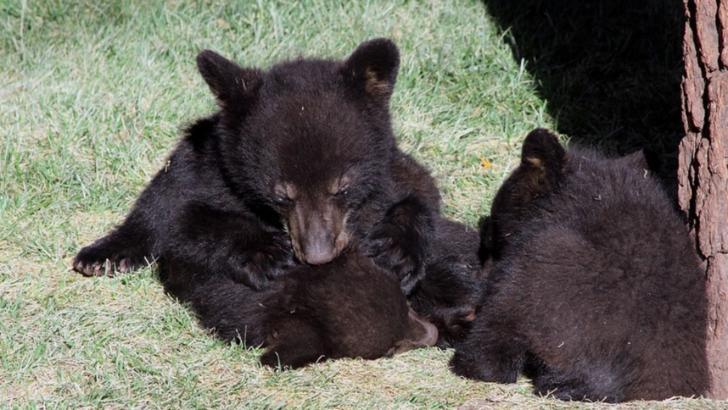 Patru pui de urs au fost scoși din bârlog și aruncați în zăpadă