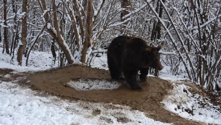 Ursoaica Ina, în libertate, la Zărnești, marcată de trauma captivității Foto: Facebook.com
