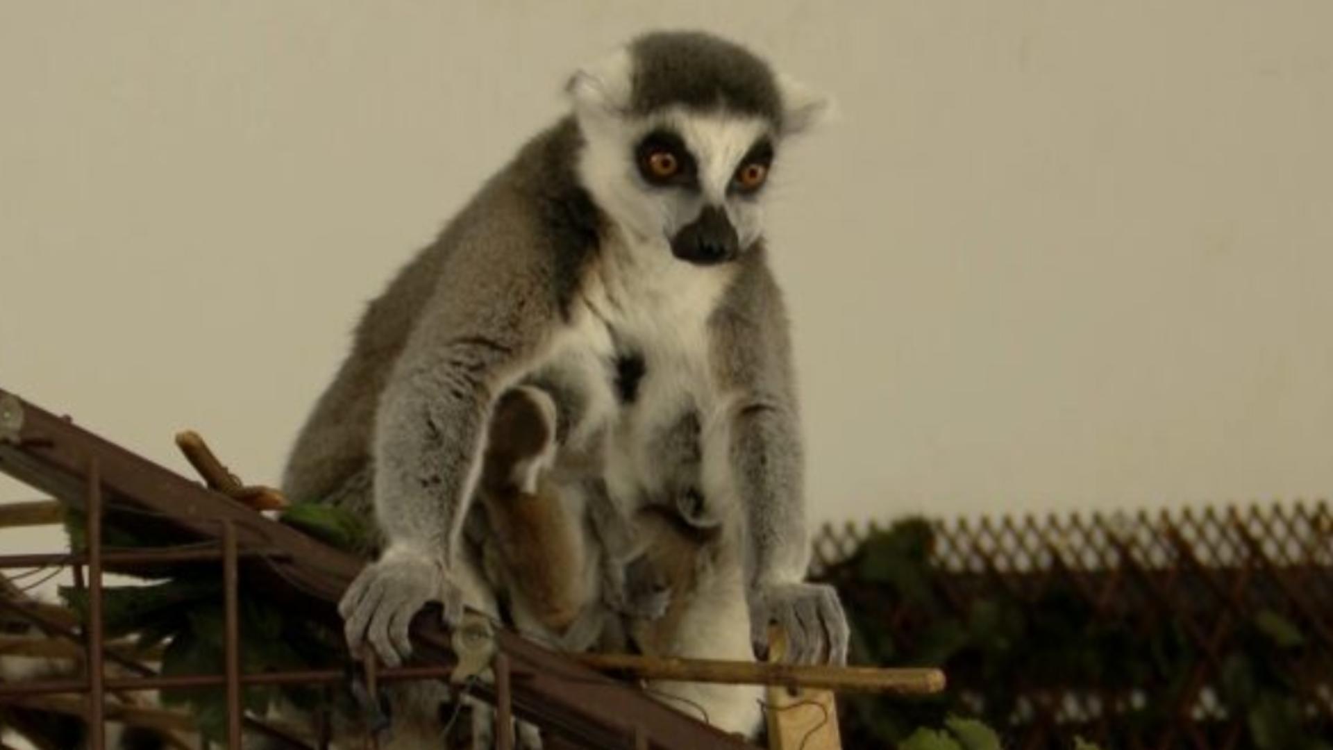 Puii gemeni de lemurian, născuți, în premieră, la Zoo Sibiu Foto: novatv.ro