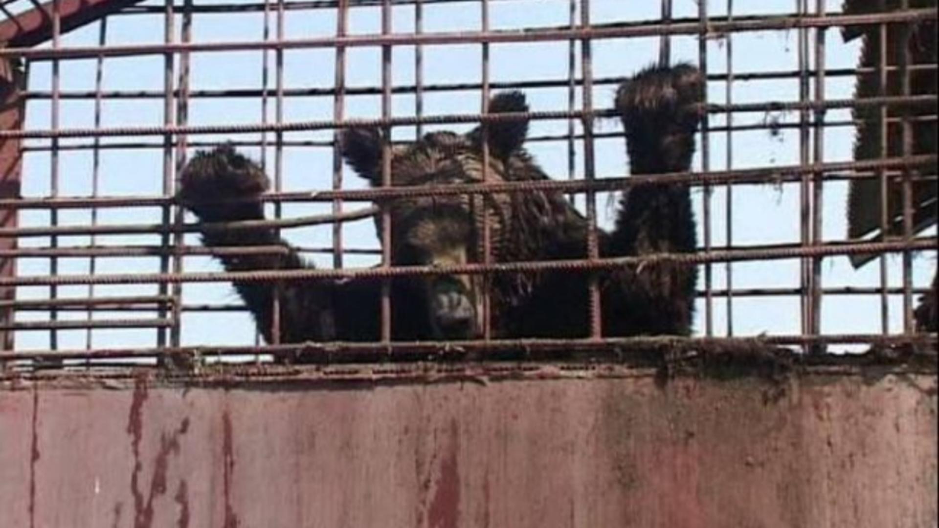 Ursii sunt ținuți în captivitate de aproape 30 de ani (sursă: FB/Asociația Milioane de Prieteni)