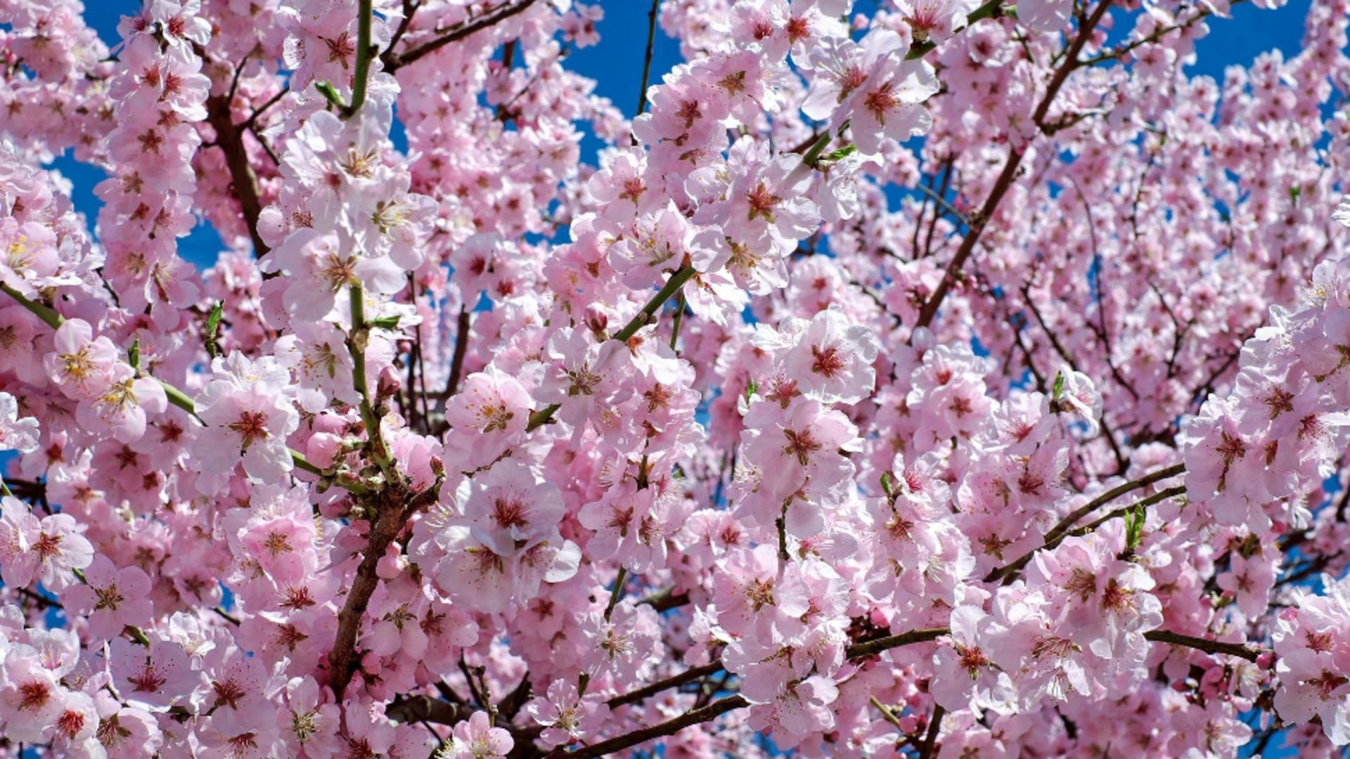 Ciresi infloriti in Japonia/sursa foto: pixabay