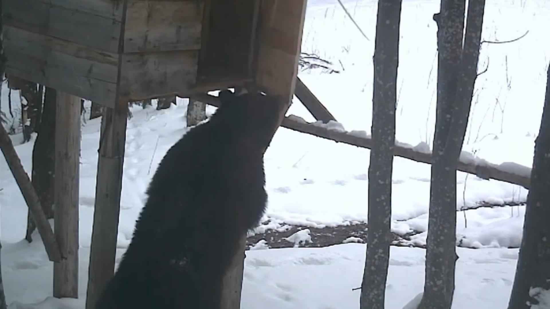 Ursuleț prins la furat