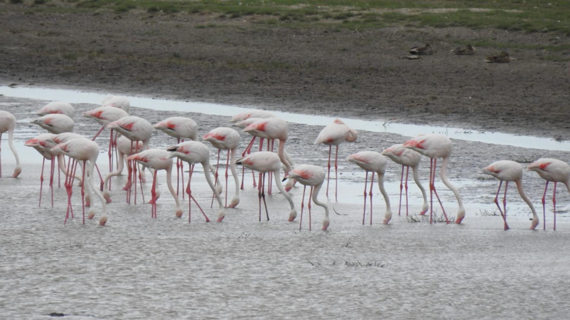Pasari flamingo roz / FOTO: Facebook ARBDD