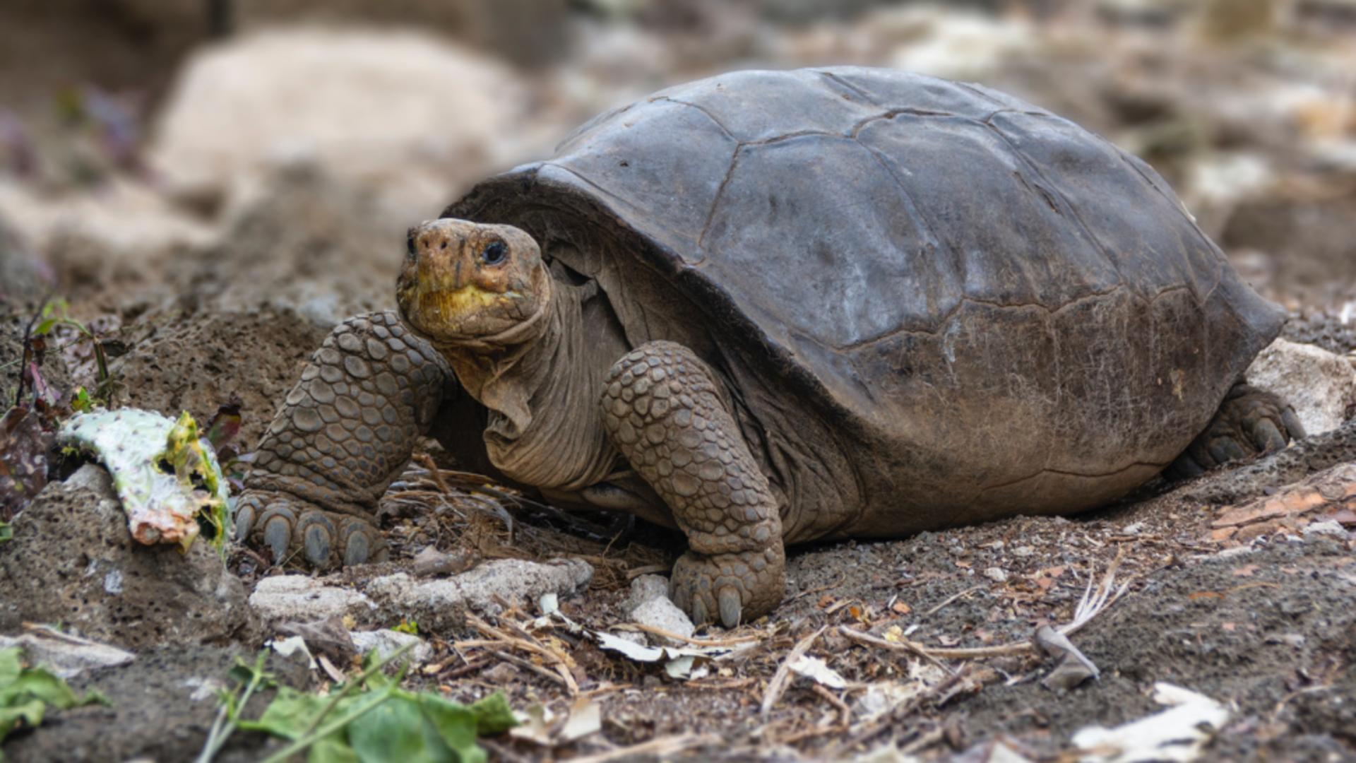 Țestoasă gigant/ Foto: Twitter  Gustavo Marique