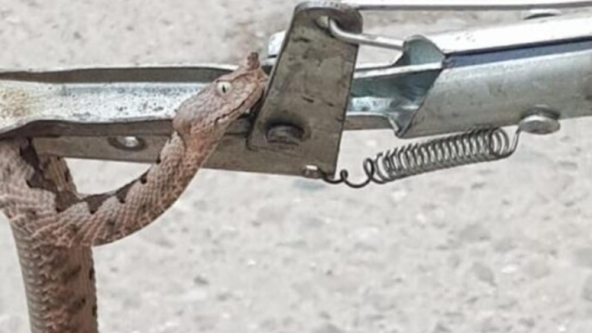 Viperă descoperită într-un birou, în Orșova - Captură foto