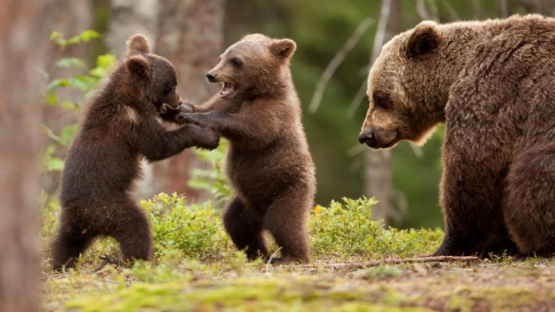 Alertă urși Harghita