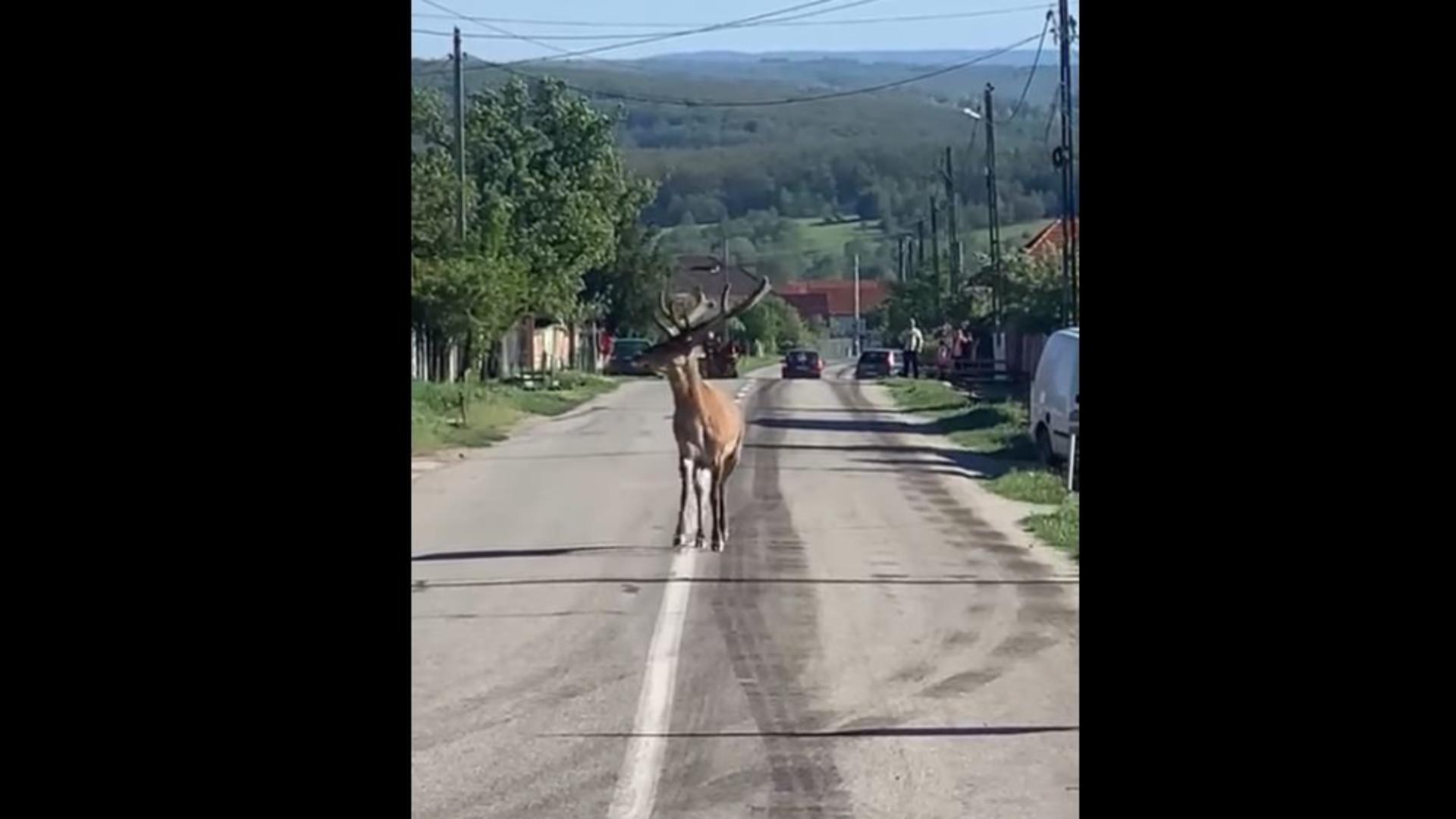 Un cerb a fost surprins pe mijlocul unui drum național din Gorj. Foto/ Captură video
