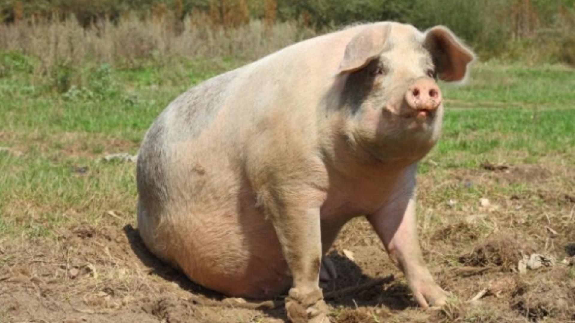 Industria cărnii de porc e la u pas de colaps