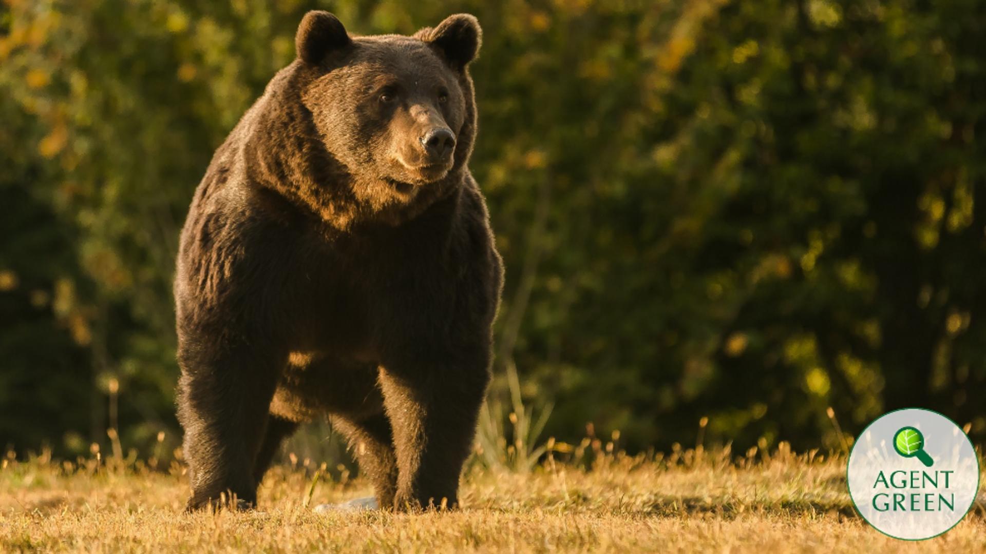 Ursul Arhur