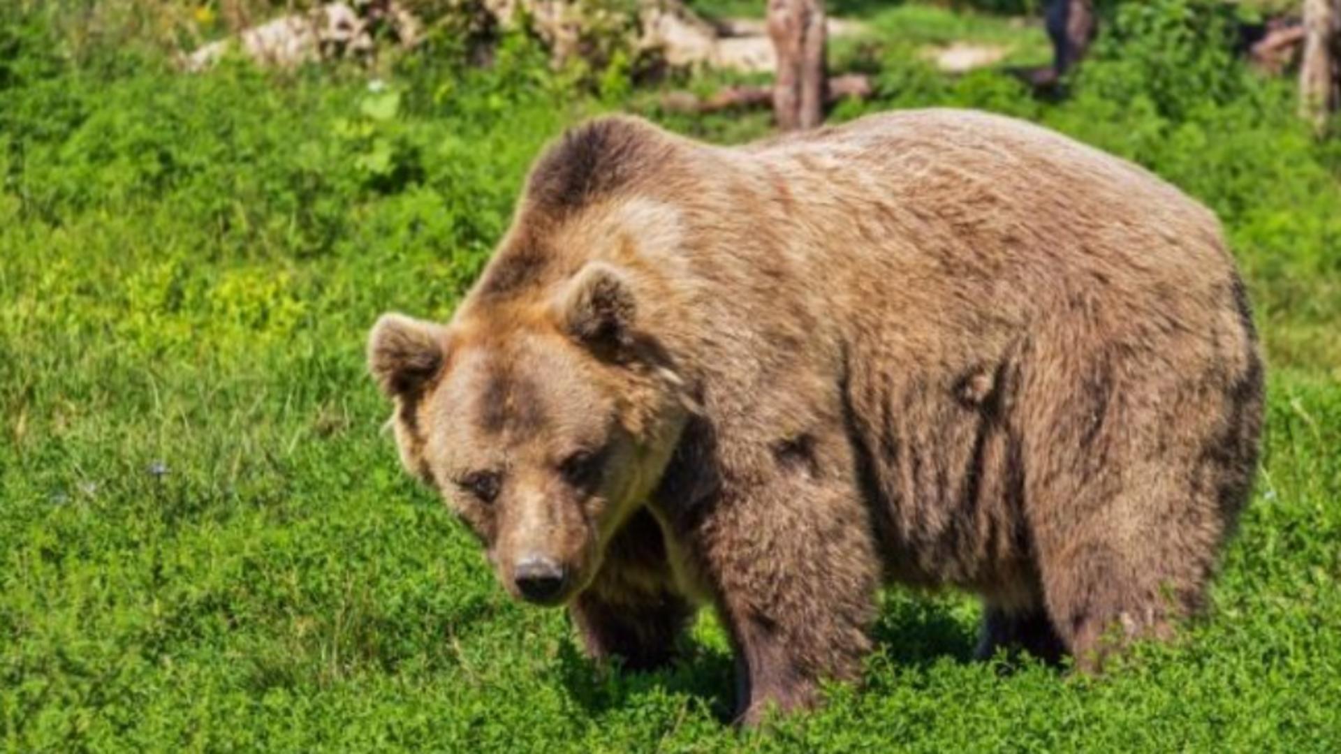 Urs brun (foto: arhiva)