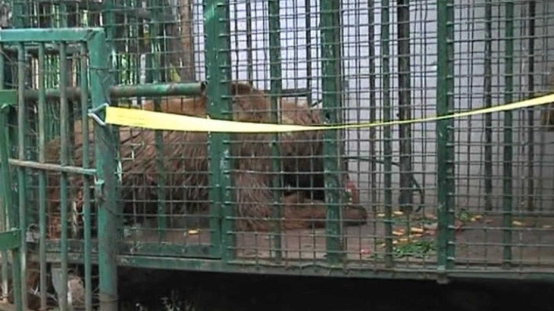 Urși captivi