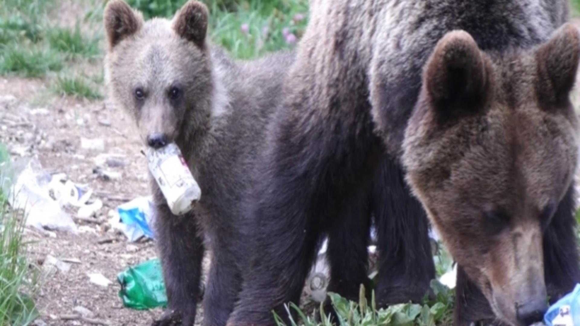Alertă urs Harghita, în Băile Tușnad