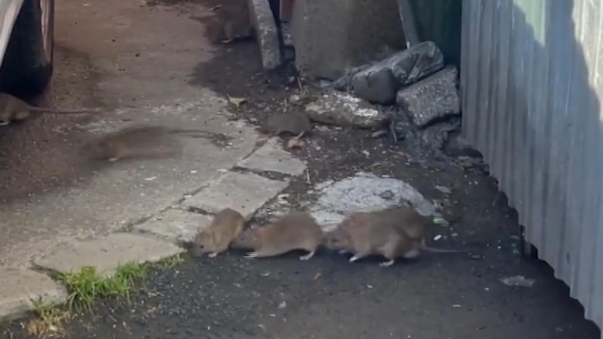 Invazie șobolani Cluj