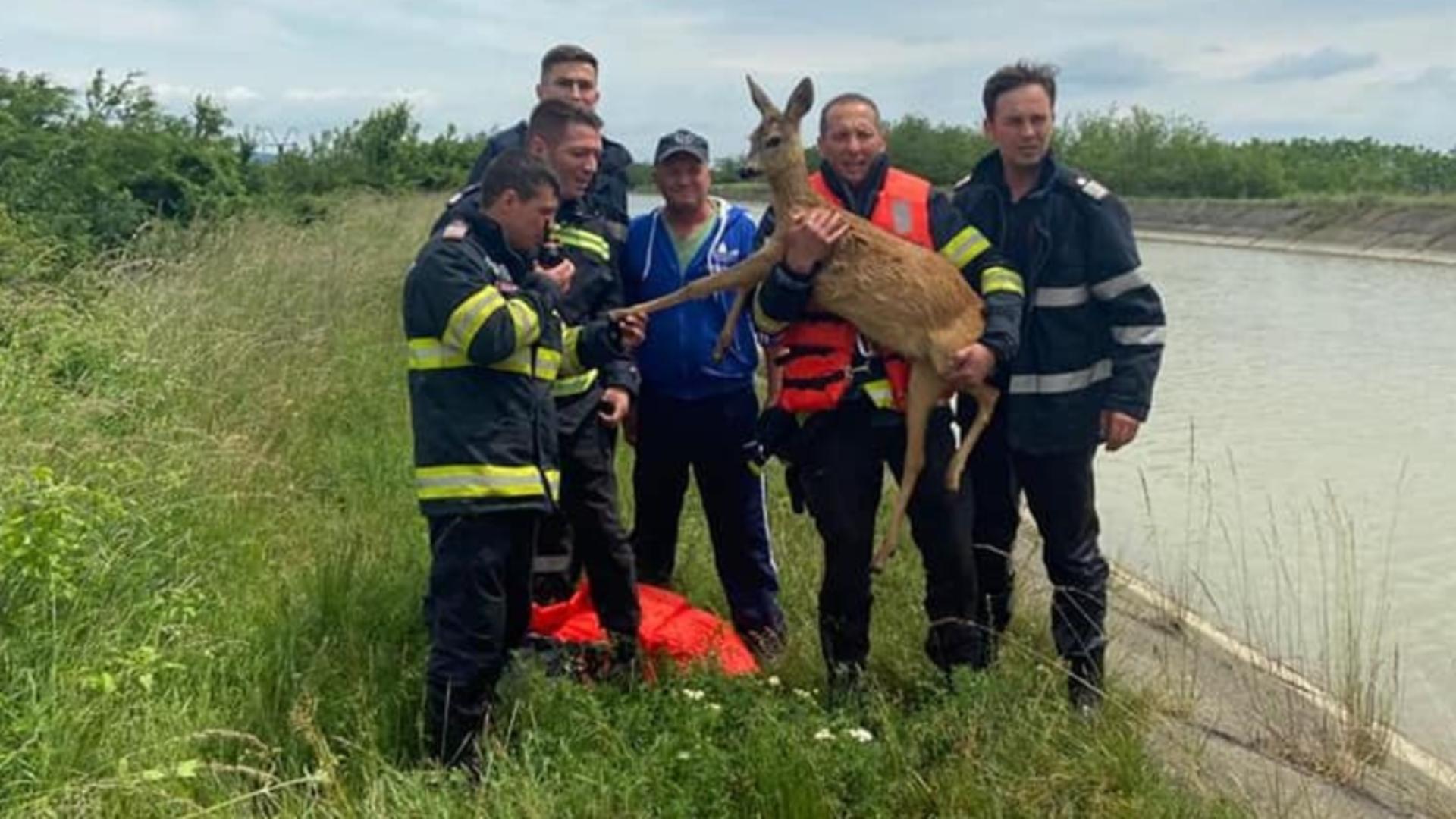 Operațiune spectaculoasă a pompierilor din Neamț pentru a salva o căprioară dintr-un canal - Imagini emoționante