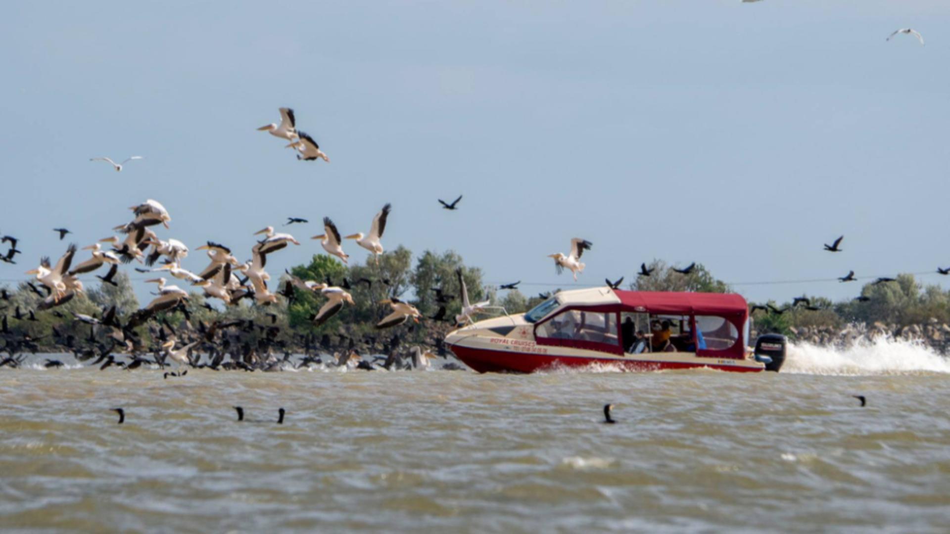 Stol de pelicani lovit de o ambarcațiune, în Delta Dunării