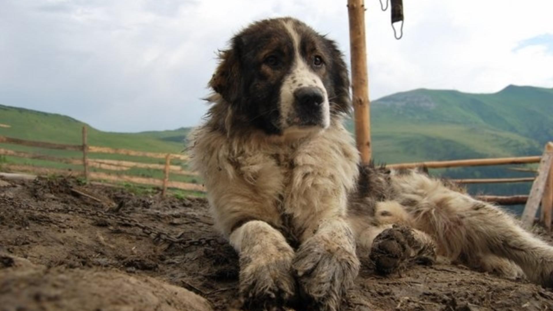 Trupul bărbatului a fost păzit de cei doi câini ciobănești