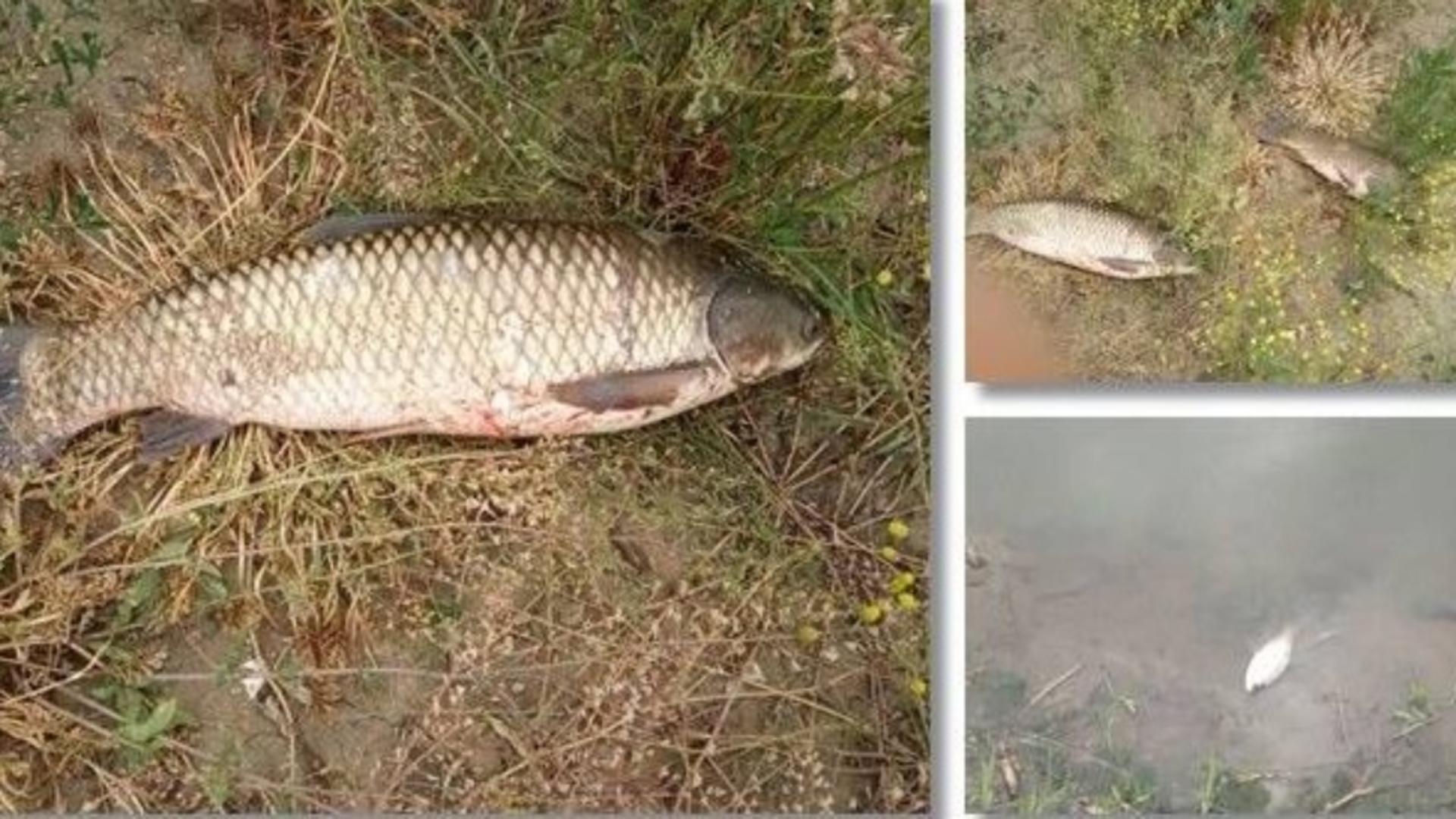 Comisarii Gărzii de Mediu au descoperit sute de peşti morţi pe marginea canalului / Foto: opiniatimisoarei.ro