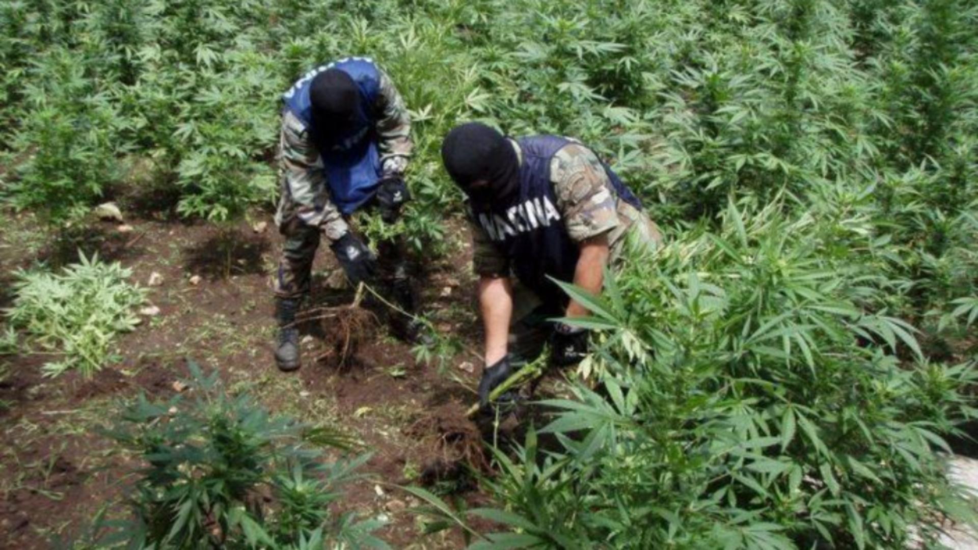 Nouă saci de rafie plini cu marijuana au fost confiscați într-un sat din județul Botoșani